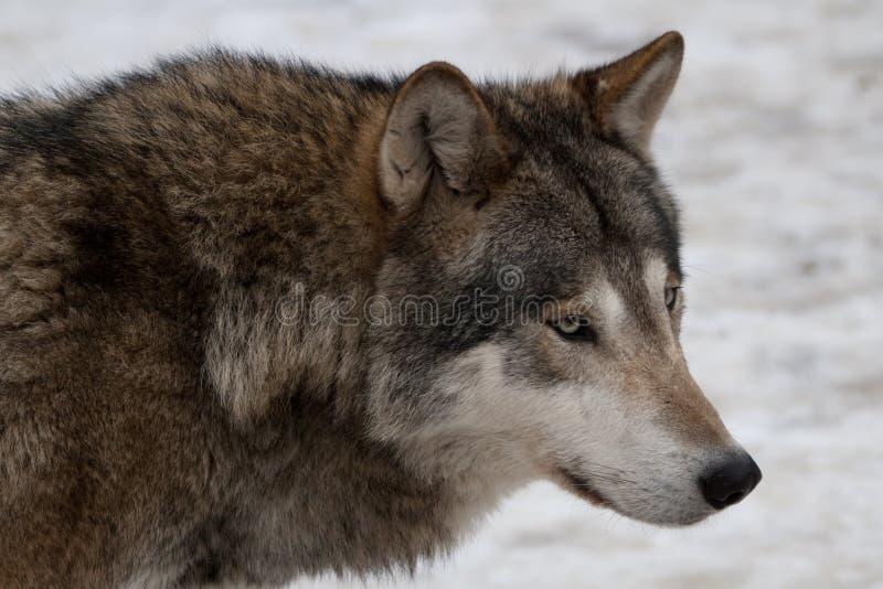 Lobo salvaje fotos de archivo libres de regalías