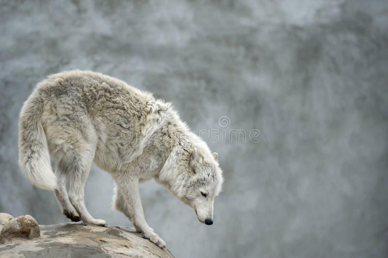 Lobo tundrian polar que está em um clief fotos de stock royalty free