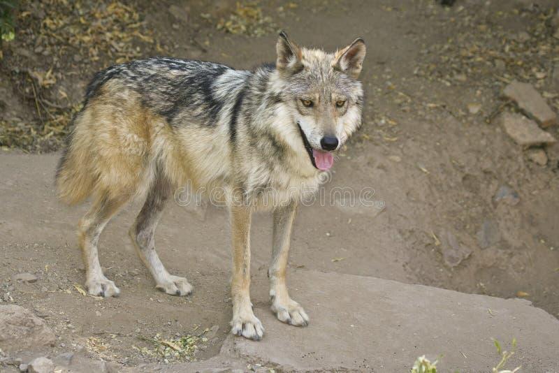 lobomexikanwolf royaltyfria bilder