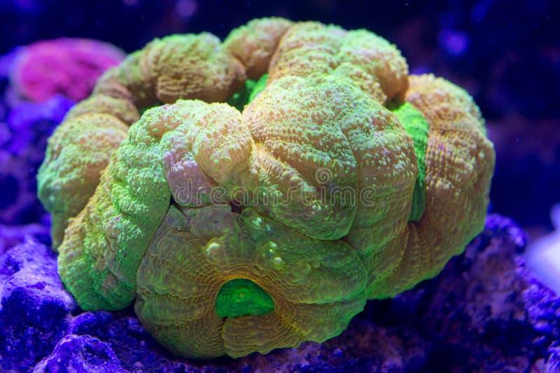 Lobophyllia Colony. Orange and Green Lobophyllia colony stock photography