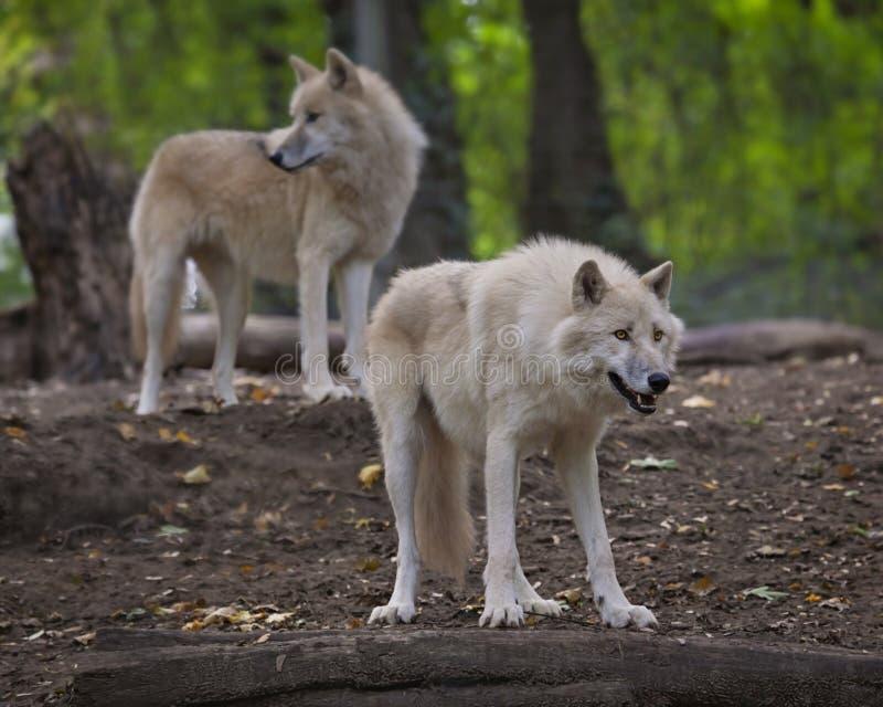 Lobos árticos fotografia de stock royalty free