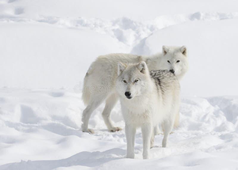 Lobos árticos en la nieve imagenes de archivo
