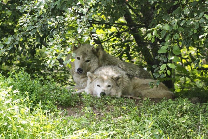 Lobos foto de stock royalty free