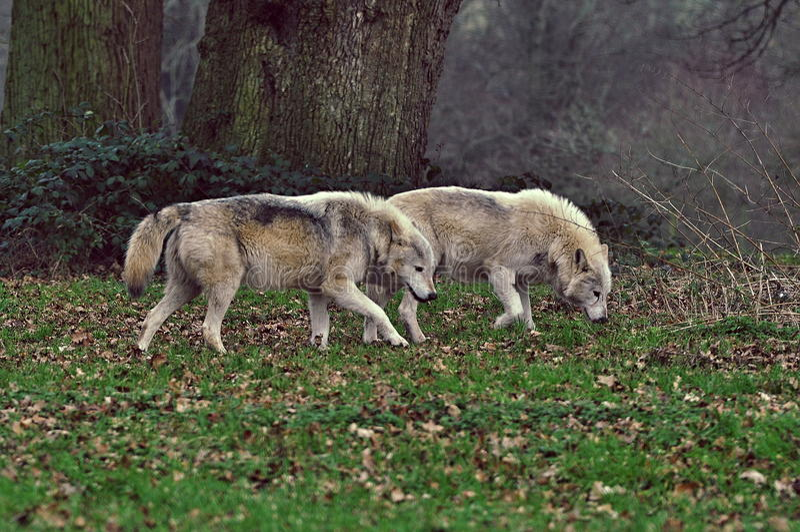 lobos imágenes de archivo libres de regalías