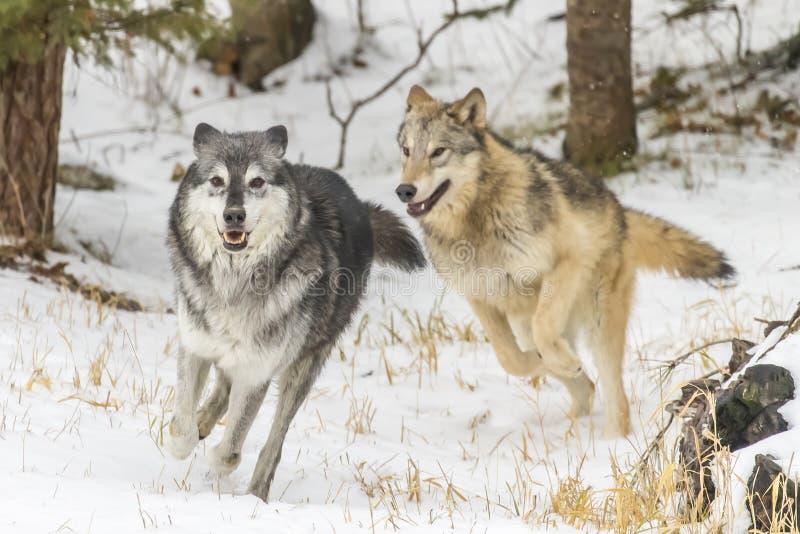 Lobos de la tundra fotografía de archivo libre de regalías