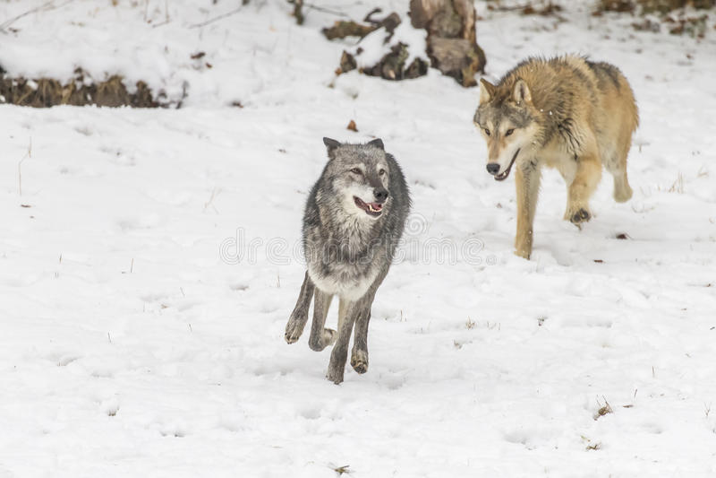 Lobos de la tundra fotos de archivo libres de regalías