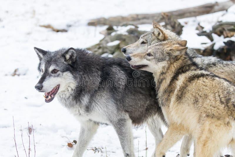 Lobos de la tundra imagen de archivo libre de regalías
