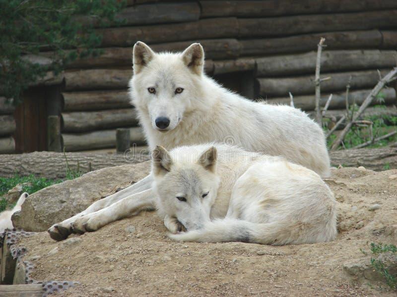Lobos de los pares fotos de archivo