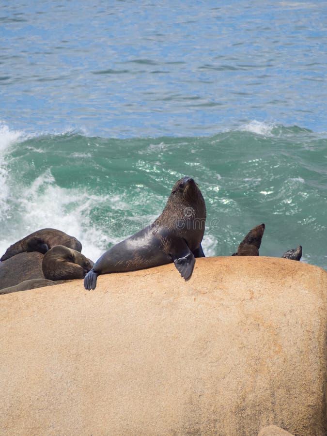 Lobos de mar en las rocas en Cabo Polonio, costa de Uruguay foto de archivo
