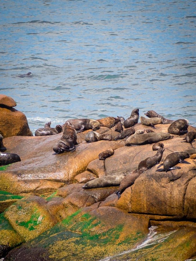 Lobos de mar en las rocas en Cabo Polonio, costa de Uruguay imagen de archivo libre de regalías