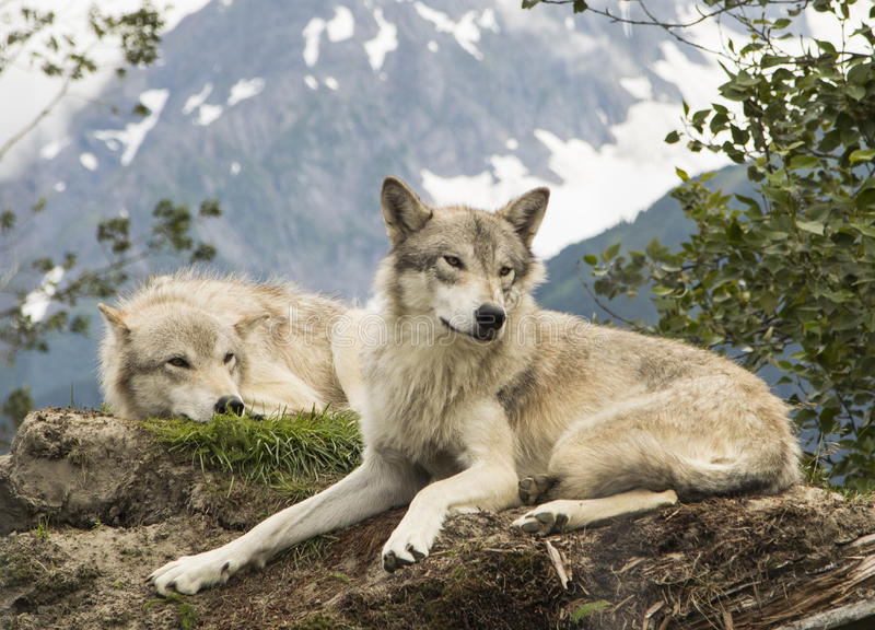 Lobos do Alasca da tundra fotografia de stock