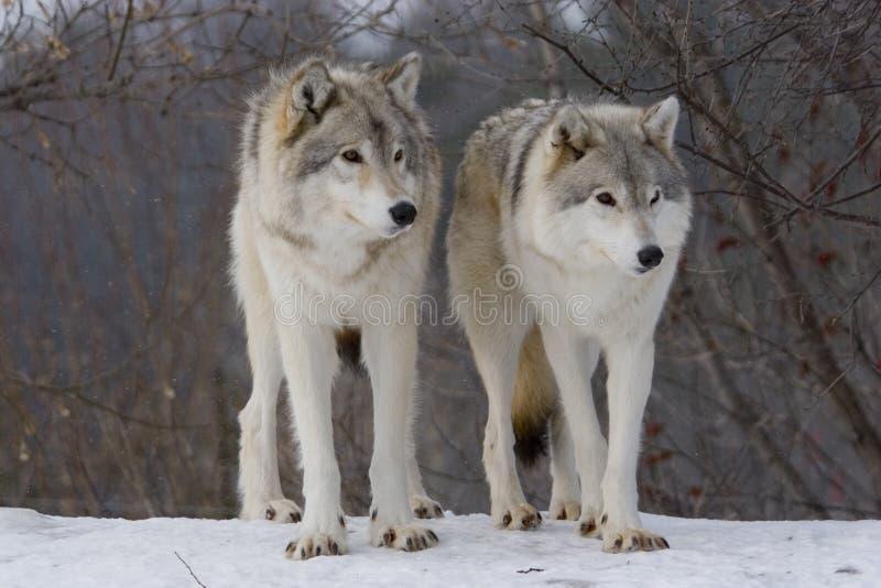 Lobos en nieve imagenes de archivo