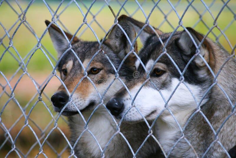Lobos en un parque zoológico fotografía de archivo libre de regalías