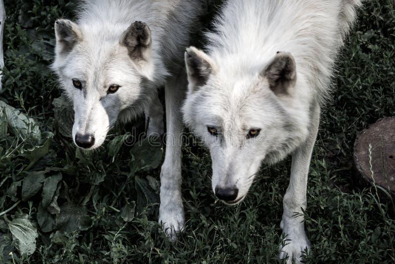 2 lobos imagens de stock royalty free