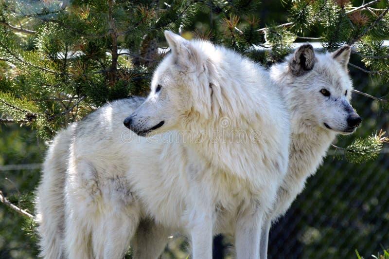 Lobos grises foto de archivo libre de regalías