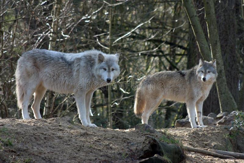 Lobos grises fotografía de archivo