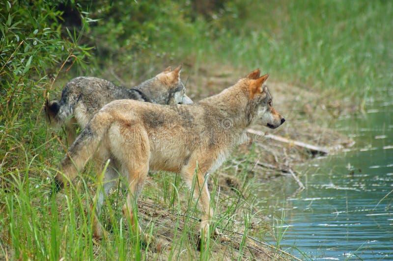 Lobos grises de la montaña rocosa fotos de archivo libres de regalías