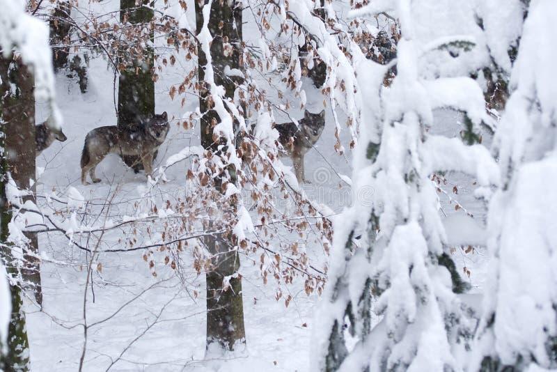 Lobos grises (lupus de Canis) en las maderas nevosas. imágenes de archivo libres de regalías