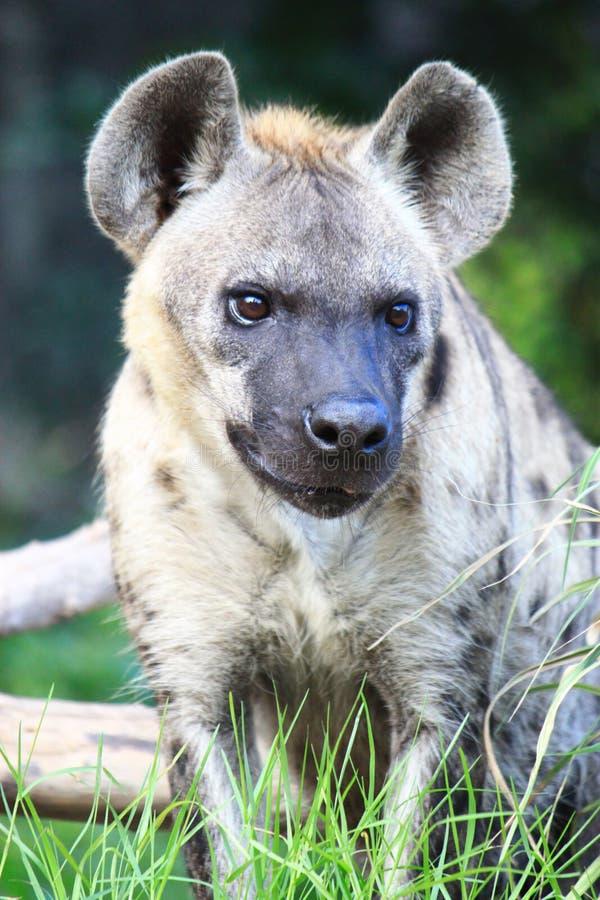 Lobos, hienas imagenes de archivo