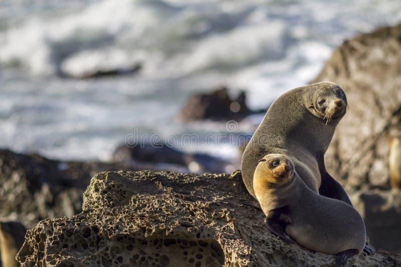 Lobos marinos de Nueva Zelanda Kekeno imagen de archivo libre de regalías