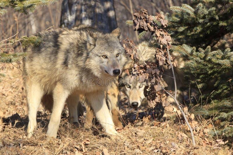 Lobos na caça imagens de stock
