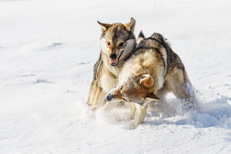 Lobos na neve fotografia de stock