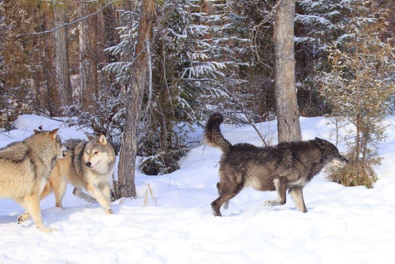 Lobos que cazan alces imagen de archivo