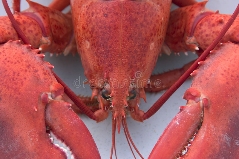 Lobster royalty free stock photo