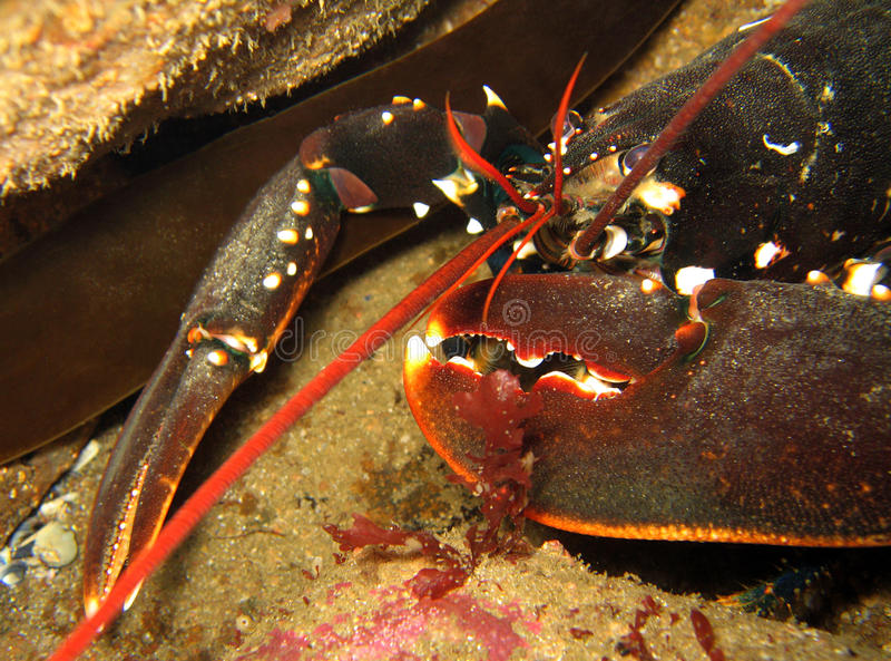Download Lobster stock image. Image of images, close, lobster - 22902925