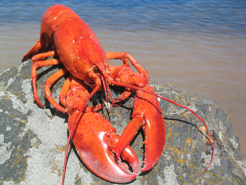Lobster. Nova Scotia Lobster on a Rock stock photos