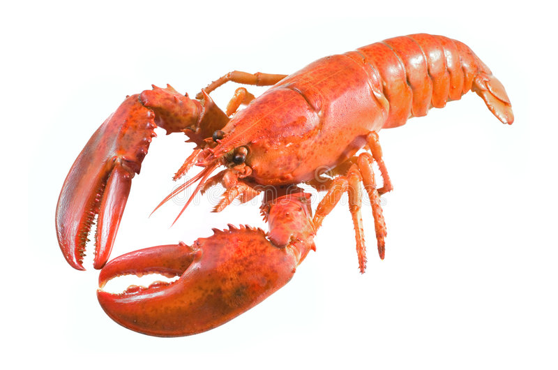 Lobster. A large red lobster over white