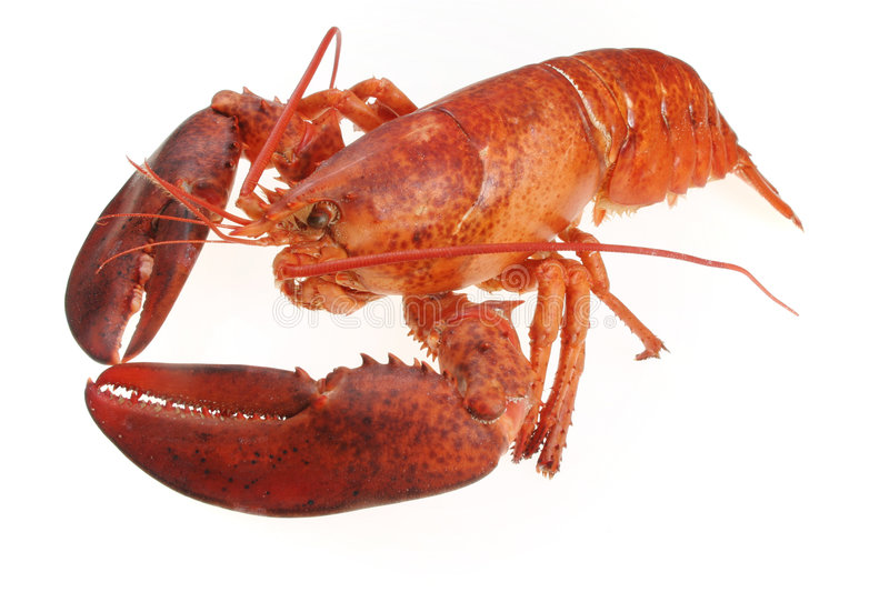 Lobster. On white stock photo