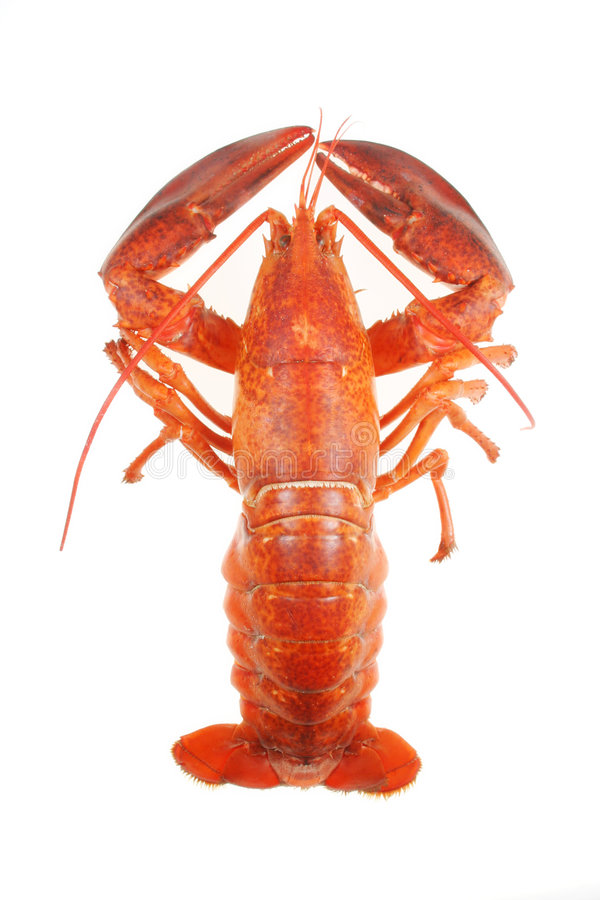 Lobster. On white stock photography