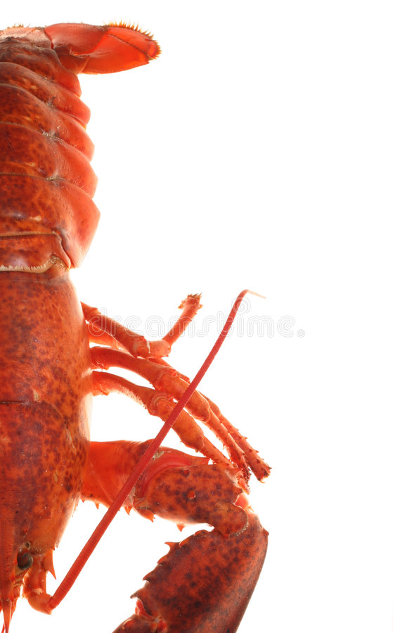 Lobster. On white stock images