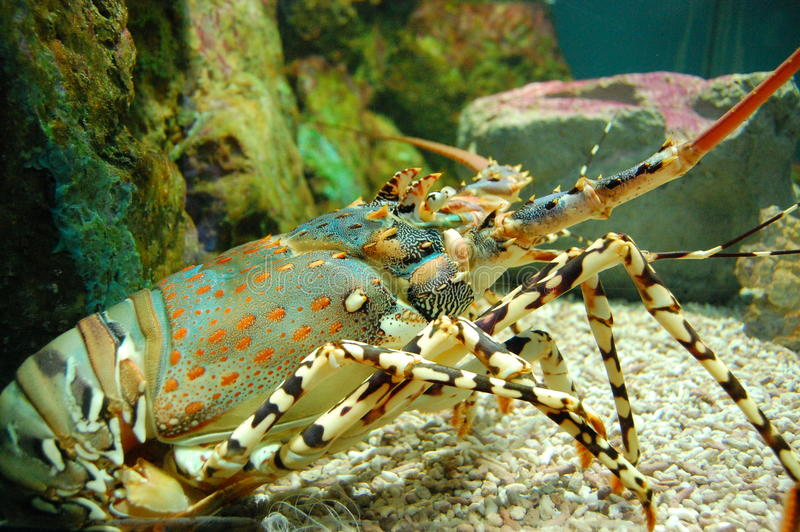 Download A lobster in an aquarium stock image. Image of japan - 26203073