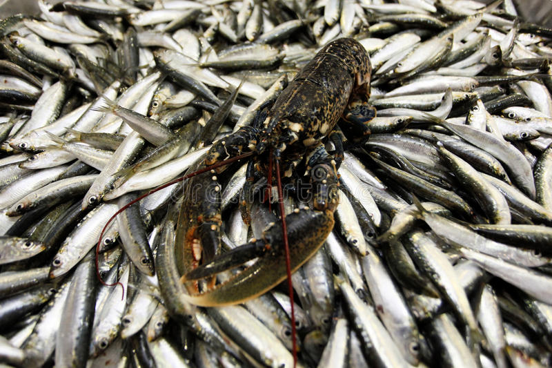 Lobster on fish market. Lobster on sardinas for sale in the fish market of Croatia royalty free stock photo