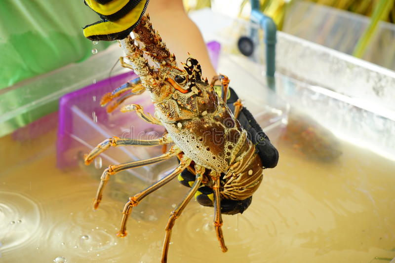 Florida Lobster Stock Images - Download 392 Royalty Free Photos