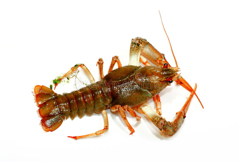 Lobster. Live lobster on white background royalty free stock photo