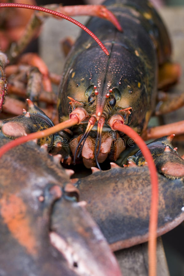 Free Lobster On Deck Royalty Free Stock Images - 21900079