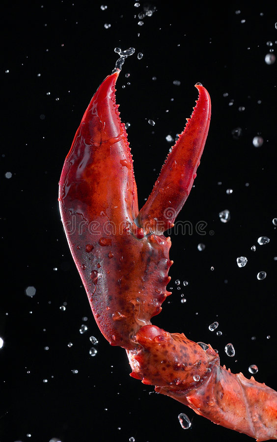 Lobster pincer. Closeup on lobster claw with water droplets royalty free stock photography
