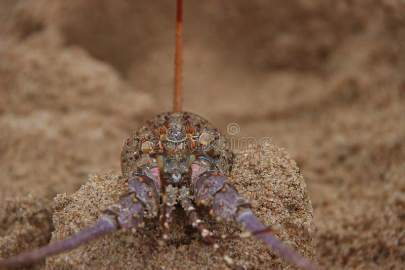 Lobster 1 royalty free stock photos