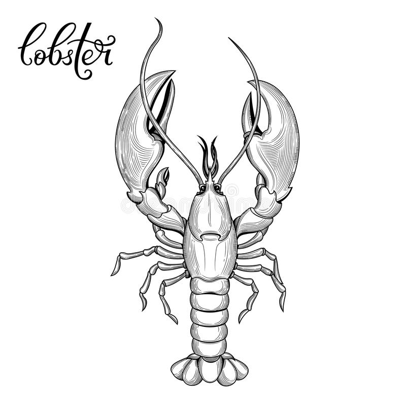 Lobster. Seafood. Vector illustration. Isolated image on white background. Vintage style stock illustration