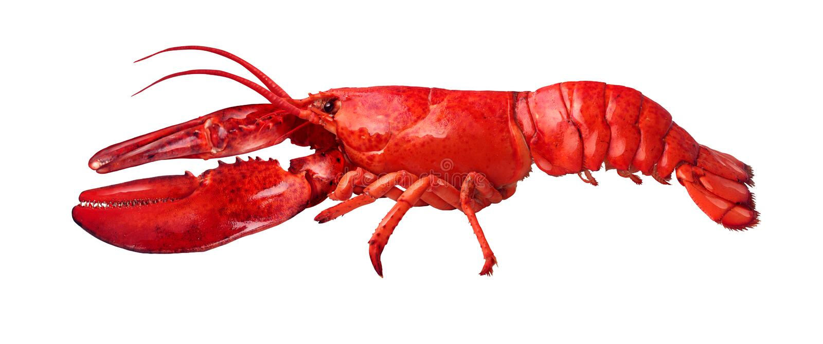 Lobster Side View. Isolated on a white background as fresh seafood or shellfish food concept as a complete red shell crustacean isolated on a white background stock illustration