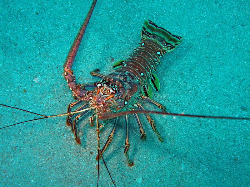 Download Lobster in south Florida stock photo. Image of diving - 5764150