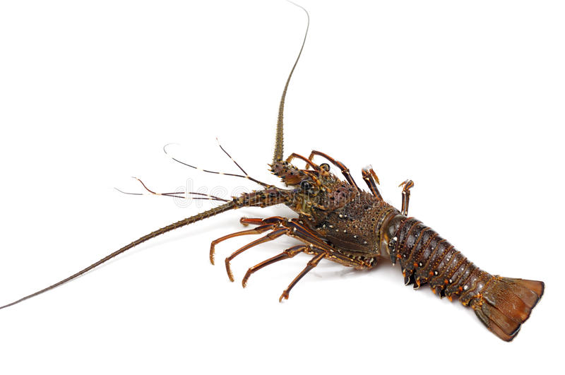 Lobsters. Spiny lobster on white background royalty free stock photo