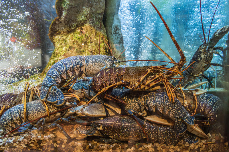 Lobsters in the aquarium in the restaurant royalty free stock image