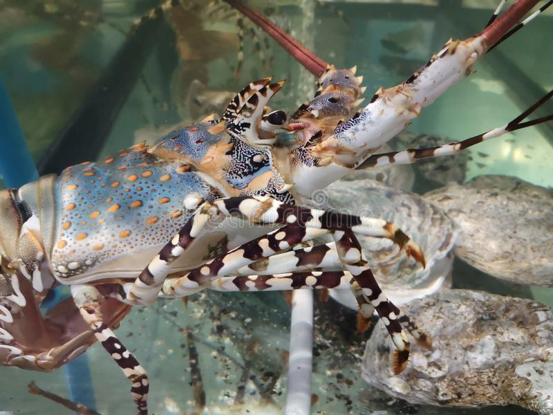 Close up Lobster at a fish tank. fish market. Lobsters in the restaurant aquarium tank for sale to diners stock photo