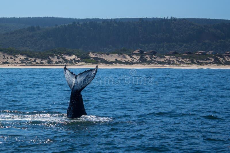 Lobtailing wielorybi brzeg blisko obraz royalty free