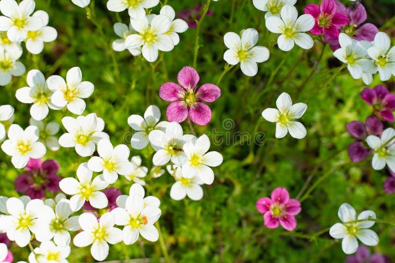 lobularia, alyssum flowers in the flower bed. Decorative plants of the Botanical garden stock photo