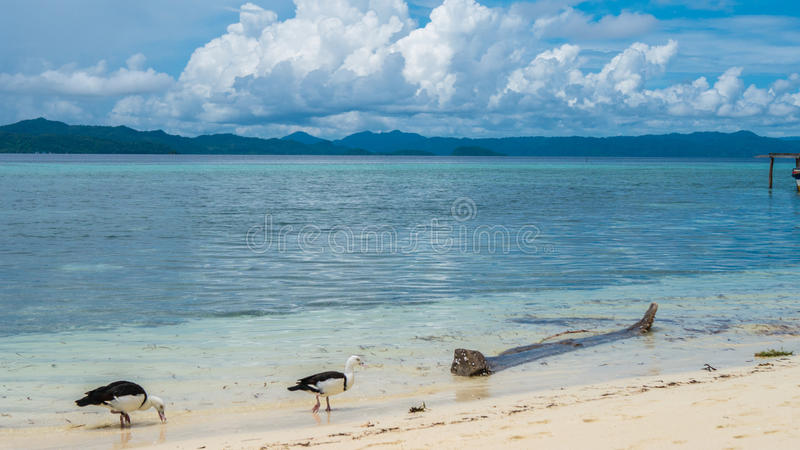 Local Black and White Ducks Feeding on the Beach of Kri Island. Gam in Background. Raja Ampat, Indonesia, West Papua. Local Black and White Ducks Feeding on the royalty free stock image
